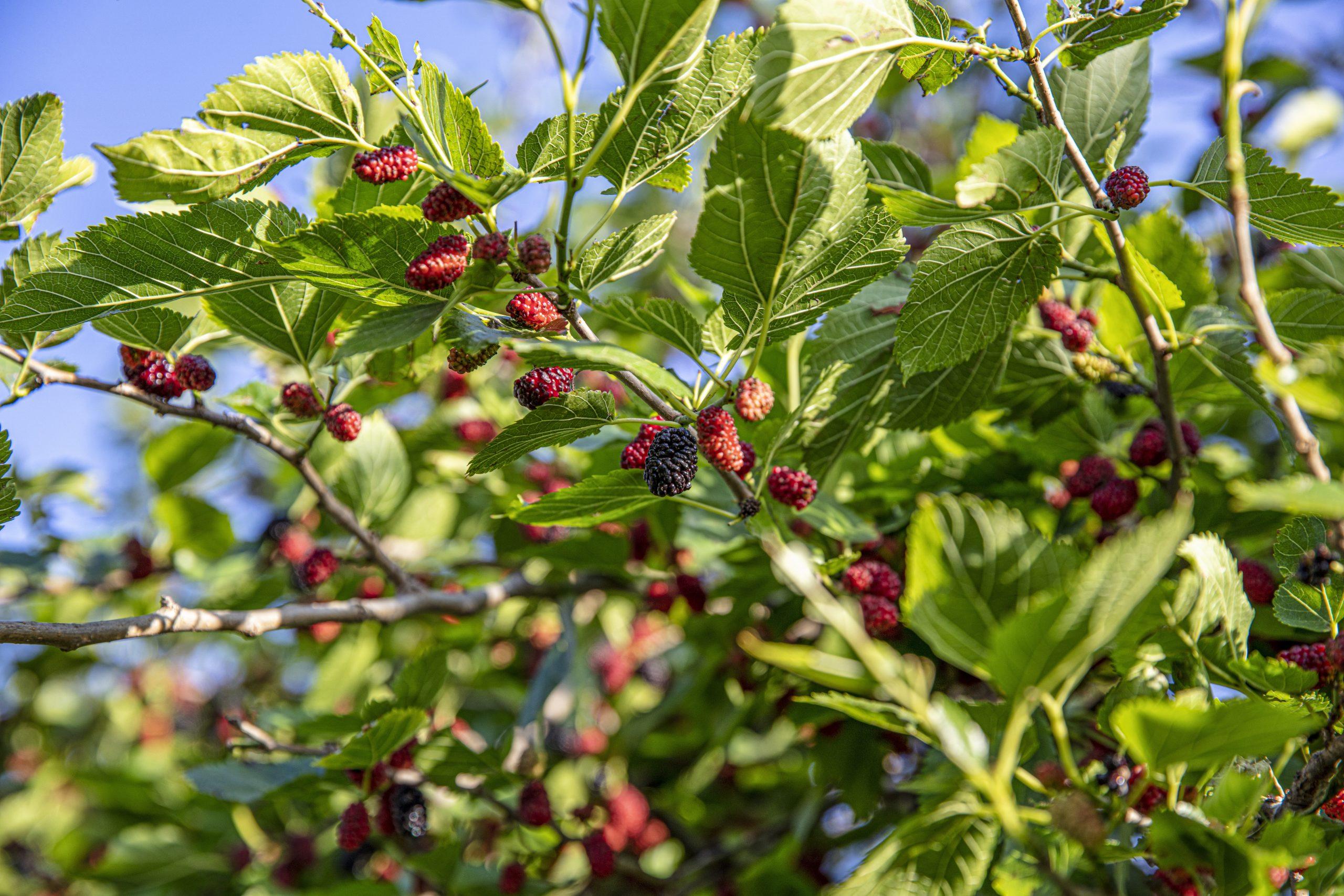 Black Mulberry Chestnut Hill Nursery